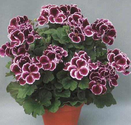 Королевская герань, визитки для цветов, комнатные растения в подарок, подарить оригинальный подарок, живой подарок