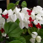 Клеродендрум Томпсона, визитки для цветов, комнатные растения в подарок, подарить оригинальный подарок, живой подарок