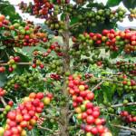 Кофейные ягоды, визитки для цветов, комнатные растения в подарок, подарить оригинальный подарок, живой подарок