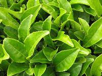 чайные листики, чай цейлонский