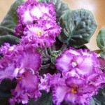 красивые фиалки, комнатные цветы фиалки, домашние цветы фиалки, разновидности фиалок комнатных