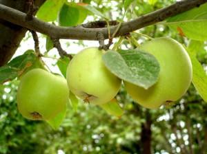 Яблоня, яблоки
