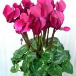 визитки цветов, комнатные растения в подарок, Цикламен