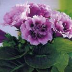 Глоксиния, живой подарок, визитки для цветов, комнатные растения в подарок, подарить оригинальный подарок