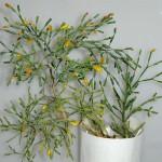 визитки цветов, комнатные растения в подарок, Рипсалис
