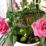Роза Даниссимо, живой подарок, визитки для цветов, комнатные растения в подарок, подарить оригинальный подарок