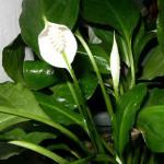 Спатифиллум, живой подарок, визитки для цветов, комнатные растения в подарок, подарить оригинальный подарок
