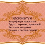 визитки цветов, комнатные растения в подарок, Хлорофитум