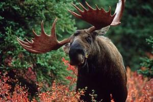 огромный лось, лось крупное животное, лось сохатый