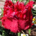 """Бахромчатый тюльпан """"Барбадос"""" (Barbados)"""