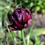 """Пионовидный тюльпан """"Блек Хиро"""" (Black Hero)"""