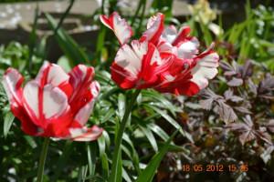 """Попугайные тюльпаны """"Эстелла Рейнвельд"""" (Estella Rijnveld)"""