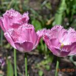 """Бахромчатый тюльпан """"Лиска"""" (Lisca)"""