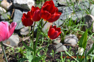 Многоцветковый тюльпан красный