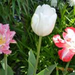 Любимый цветок тюльпан