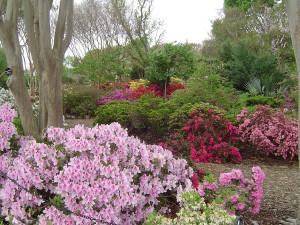 Азалия в цвету, Дендропарк Ботанический Сад, штат Техас США, Весна