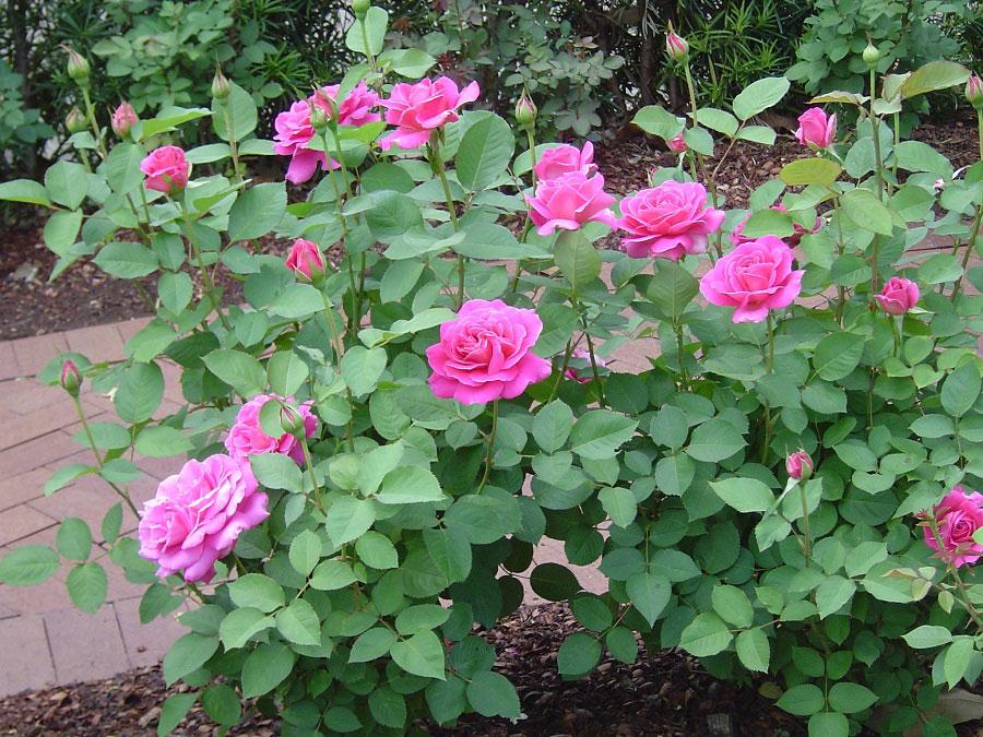 Розовые розы картинки букеты шоу говорится