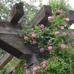 чайные розы в саду, плетистые розы арка, смотреть розы в саду, цветы сад розы, сад из роз