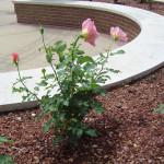 чайные розы в саду, смотреть розы в саду, цветы сад розы, сад из роз, чайно гибридные розы сад