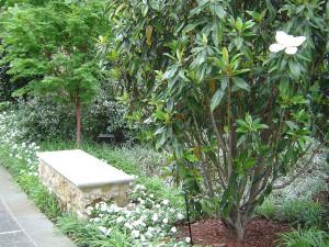 японский клен фото, магнолия растение фото, цветущее дерево магнолии, магнолия крупноцветковая, цветы магнолии картинки, магнолия куст, как выглядит магнолия, южная магнолия, магнолия magnolia, магнолия цветущая фото, магнолия кустарник, магнолия сад, дерево магнолия фото, магнолия картинки, растение магнолия, флора магнолия, цветы магнолии фото, магнолия белая, дендропарк фото