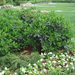 мушмула кустарник, растение мушмула фото, мушмула японская фото, где растет мушмула, мушмула растение, магнолия сад, дендропарк фото