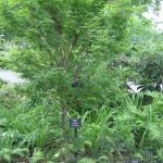 японский клен фото, магнолия сад, дендропарк фото