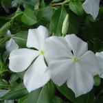 цветок карантус, цветы карантус, карантус фото, карантус, магнолия сад, дендропарк фото