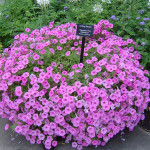 петуния садовая, клумба петуния, растение петуния, магнолия сад, дендропарк фото