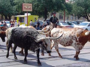 техасский бык, лонгхорн, техасские лонгхорны, родео быки, дикий запад сша, штат техас сша, форт уорт техас, техас родео, аттракцион родео бык, американское родео быки, форт уорт