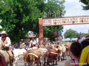 техасский бык, лонгхорн, техасские лонгхорны, дикий запад сша, штат техас сша, форт уорт техас, техас родео, аттракцион родео бык, американское родео быки, форт уорт
