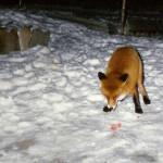 можно ли приручить лису дома, приручить дикую лису, лис можно приручить, приручить лиса