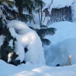 фотографии горностаев, горностай зимой фото, горностай зимой, королевский горностай, фото горностаев животных, белый горностай