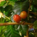 домашние тропики, домашний сад квартира, кофе дома выращивание, вырастить кофе дома, выращивание кофе домашних условиях, кофе на подоконнике выращивание