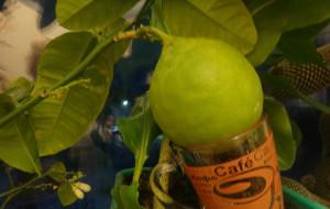 домашние тропики, домашний сад квартира, лимон дерево дома, лимон растение дома