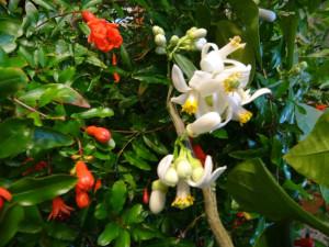 домашние тропики, комнатный гранат выращивание, гранат комнатное растение, лимон дерево дома, лимон растение дома