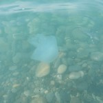 прозрачные маленькие медузы, фотки медуз, прозрачные медузы, медуза фотографии, медузы возле берега, медузы черного моря фото, медузы россии, смотреть фото медуз, необычные медузы, медуза фото картинки