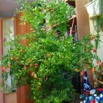 домашние тропики, домашний сад квартира, комнатный гранат выращивание, гранат комнатное растение