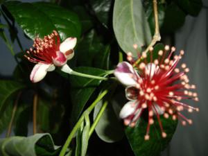 домашние тропики, домашний сад квартира, цветы фейхоа фото, фейхоа цветы, комнатный фейхоа, фейхоа домашние условия, фейхоа выращивание домашние условия
