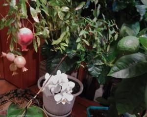 домашние тропики, комнатный гранат выращивание, гранат комнатное растение, лимон дерево дома, лимон растение дома, вырастить кофе дома