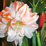комнатное растение амариллис, комнатные цветы амариллис фото, правильно посадить амариллис, комнатный цветок амариллис, цветы комнатные амариллис, амариллис выращивание, домашний цветок амариллис, домашние цветы амариллис, амариллис домашних условиях фото, домашний сад квартира