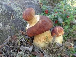 гриб двухэтажный, заполярный край