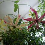 комнатные цветы глориоза, комнатный цветок глориоза, цветок глориоза фото, цветы глориоза фото, глориоза великолепная, цветы глориоза, глориоза домашние условия, домашний сад квартира