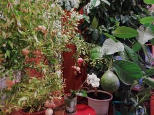 домашние тропики, домашний сад квартира