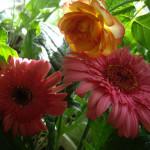 красные герберы фото, гербера красная фото, цветок гербера домашних условиях, герберы цветы домашних условиях, гербера домашний цветок, картинки цветы герберы, домашний сад квартира