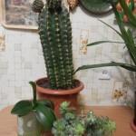 домашние тропики, домашние цветущие кактусы, цветущие кактусы комнатные, картинки цветущих кактусов