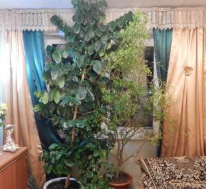 домашние тропики, домашний сад квартира, комнатный гранат выращивание, гранат комнатное растение,вырастить кофе дома