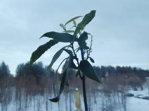 домашние тропики, домашний сад квартира, лавр домашнее растение, комнатное растение лавр, лавр растение