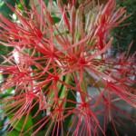 цветок нерине фото, цветы нерине фото, нерине цветок, нерине цветы, домашний сад квартира, нерине фото