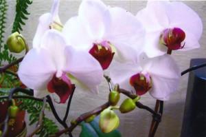 реанимация орхидеи фаленопсис, размножать орхидею фаленопсис, вырастить орхидею дома, размножить орхидею фото, домашний цветок орхидея ухаживать, отсадить детку орхидеи, ухаживать орхидея дома, домашние цветы орхидеи уход, цветок орхидея картинки, орхидея комнатная фото