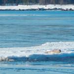 тюлень белого моря, кандалакшский залив фото, кандалакша белое море, кандалакшский залив белого моря, заполярный край